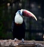 Red-billed Toucan Stock Photos