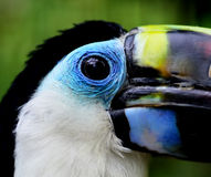 Red-billed Toucan Stock Photo