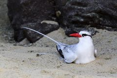 A Red-billed Tropic Bird, Phaethon aethereus, resting on a sandy beach, Galapagos Islands Stock Photography