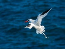 Red-billed Tropicbird. (Phaethon aethereus). Also known as Boatswain Bird Stock Images