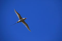 Red Billed Tropicbird Stock Photos