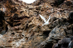 Red Billed Tropicbird Flight Stock Images