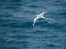 Red-billed tropicbird. In galapagos island Royalty Free Stock Photos