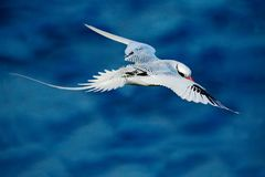 Red-billed Tropicbird, Phaethon aethereus, rare bird from the Caribbean. Flying Tropicbird with green forest in background. Wildli. Fe scene from Little Tobago stock image