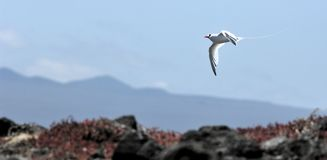 Red-billed Tropicbird (Phaethon aethereus) in sky on galapagos island. Royalty Free Stock Photography