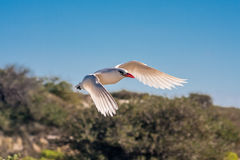 Red-billed Tropicbird. Seabird of tropical oceans Royalty Free Stock Photos