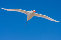 Red-billed Tropicbird. Seabird of tropical oceans Stock Image