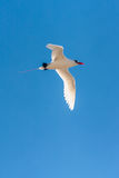 Red-billed Tropicbird. Seabird of tropical oceans Stock Images