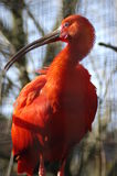 Red bird. Scarlet Ibis Eudocimus ruber at the zoo Royalty Free Stock Image
