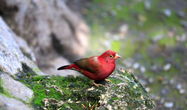 Red bird Stock Photo