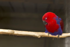 Red bird as a pet Stock Photography