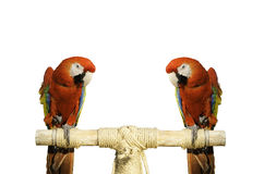 Red bird beautiful. Two red parrots beautiful and white background Stock Photo