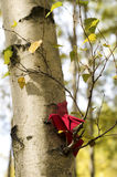 Red bird on a birch Royalty Free Stock Image