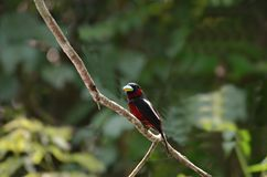 Red bird.Black-and-Red broadbill. Black-and-Red broadbill.We live in a swamp forest near streams or rivers, forests rare or common areas Royalty Free Stock Photo