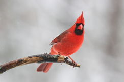 Red Bird on a Branch. A male Northern Cardinal (Cardinalis cardinalis) perching on a branch, on a snowy day in winter Stock Photo
