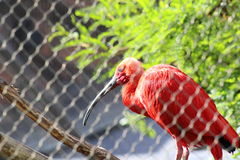 A Red Bird. In a cage Royalty Free Stock Photos