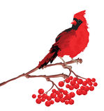 Red bird cardinal on branch. Merry christmas card. Red bird cardinal on branch with berries Stock Photo