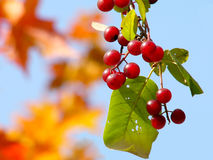 Red Bird Cherry. Red american bird cherry berries on the background of autumn maple Stock Photo