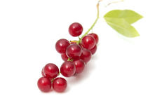 Red bird-cherry tree Stock Images