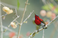 Red Bird (Crimson Sunbird) Perching On Branch Royalty Free Stock Photos