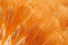 Red Bird Feathers Macro Stock Photos