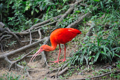 Red bird Royalty Free Stock Images