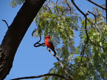 Red bird. My view from my house Royalty Free Stock Photography