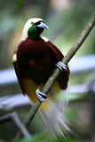 Red Bird-of-paradise. Perched on branch, Papua Island Stock Photo