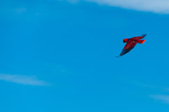 Red Bird parrot Gliding Freely in the clear blue Stock Photo