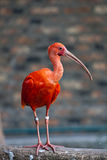Red bird - Scarlet Ibis Royalty Free Stock Images