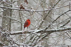 Red Bird in Snow Stock Photos