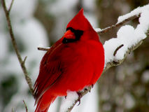 Red Bird on snow laden branch Royalty Free Stock Photography
