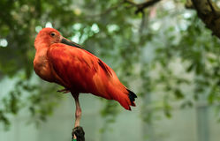 Red bird. Standing on a wooden stick Royalty Free Stock Photography