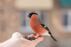 Hand feeding male bullfinch with sunflower seeds stock images