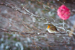 Red bird on tree Royalty Free Stock Photo