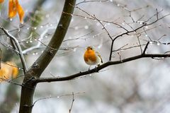 Red bird on the tree branch. A warm-blooded egg-laying vertebrate distinguished by the possession of feathers, wings, and a beak and typically by being able to Stock Photography