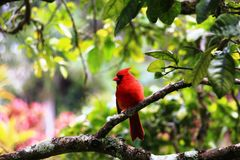 Red bird on a tree Stock Photos
