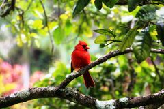 Red bird on a tree Royalty Free Stock Image