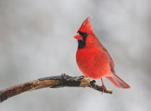 Red Bird in Winter. A male Northern Cardinal (Cardinalis cardinalis) perching on a branch, on a snowy day in winter