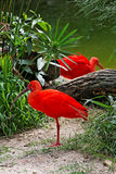 Red Birds in Itatiba Stock Photography