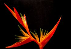 Red Birds of Paradise Royalty Free Stock Image