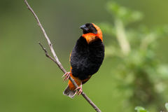 Red Bishop Stock Image