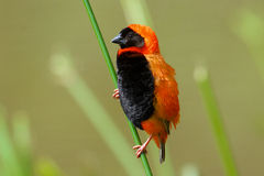 Red Bishop. The Southern Red Bishop or Red Bishop (Euplectes orix). It is 10-11 cm long and has a thick conical bill. Side view of this beautiful bird stock images
