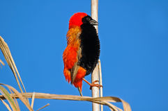 Red Bishop. Royalty Free Stock Image