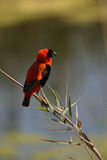 Red Bishop Royalty Free Stock Photo