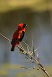 Red Bishop. Male red bishop bird  , South Africa Royalty Free Stock Photo