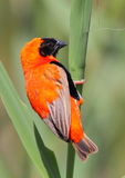 Red Bishop stock photography