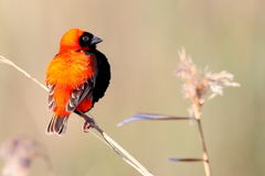 Red Bishop Royalty Free Stock Image