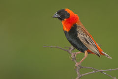 Red bishop. Colorful seedeater.  Common. Sociable.  Prefer rank tall grass and reeds.  Forehead and venter black, head and throat distinctly red. Males colorful Stock Images