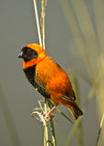 Red Bishop. Colorful seedeater.  Common. Sociable.  Prefer rank tall grass and reeds.  Forehead and venter black, head and throat distinctly red. Males colorful Stock Photography